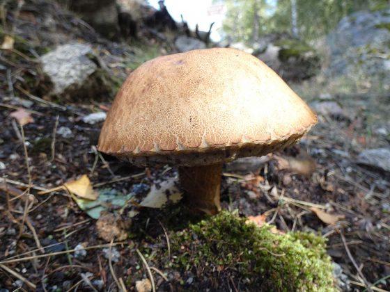 Variedade de cogumelo