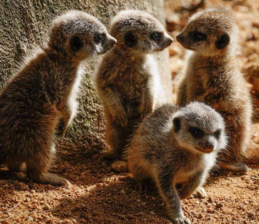 crias de suricata do Jardim Zoológico