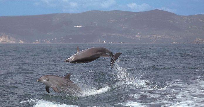 Proteger os Golfinhos no Sado
